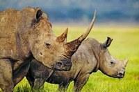 I rinoceronti salvati dalla matematica?