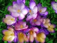 Scoperti i segreti del'iridescenza dei fiori
