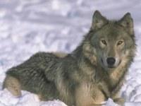 Matematica in difesa dei lupi