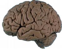 Modello matematico svela il meccanismo delle connessioni cerebrali