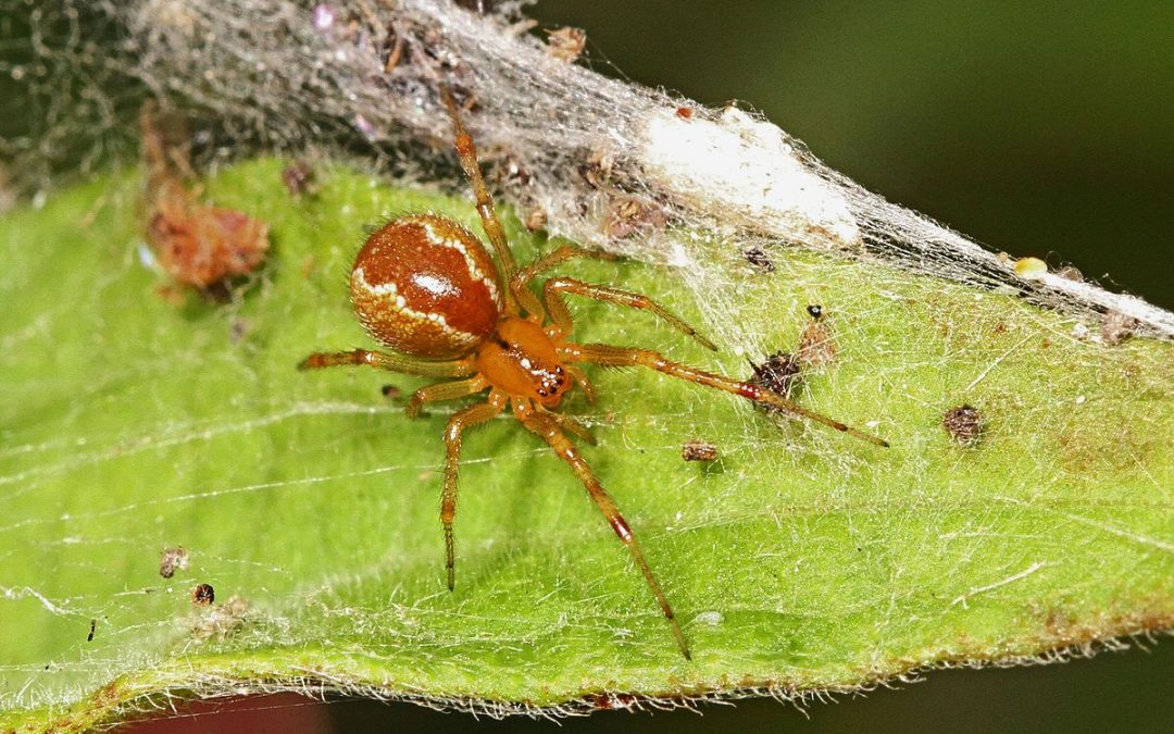 Il caldo dà alla testa… anche ai ragni