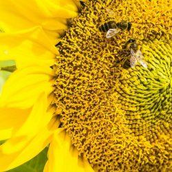 Sorpresa: le api sanno (anche) fare addizioni e sottrazioni