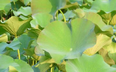 Il linguaggio matematico nella forma delle foglie acquatiche